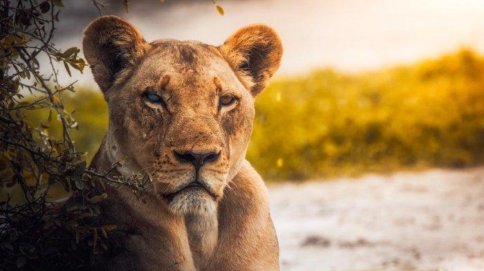 Demi Selamatkan Putranya, Seorang Ibu Duel dengan Singa Gunung Pakai Tangan Kosong