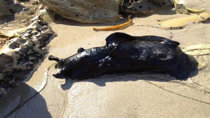 Siput laut hitam California