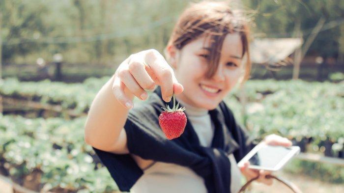 Ilustrasi memetik buah stroberi