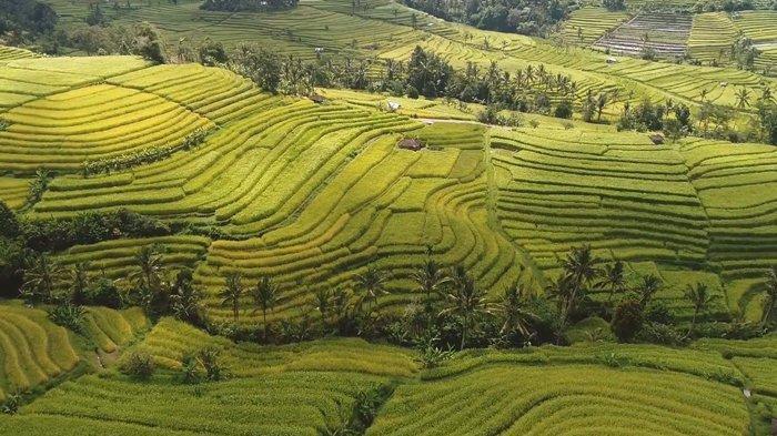 Menelusuri Pesona Subak Jatiluwih Bali, Warisan Budaya Dunia UNESCO dengan Filosofi Tri Hita Karana