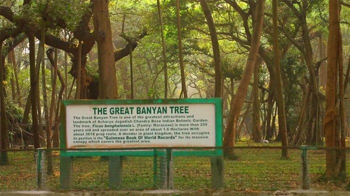 Pohon Beringin Terbesar di Dunia Ada di India, Usianya Capai 250 Tahun