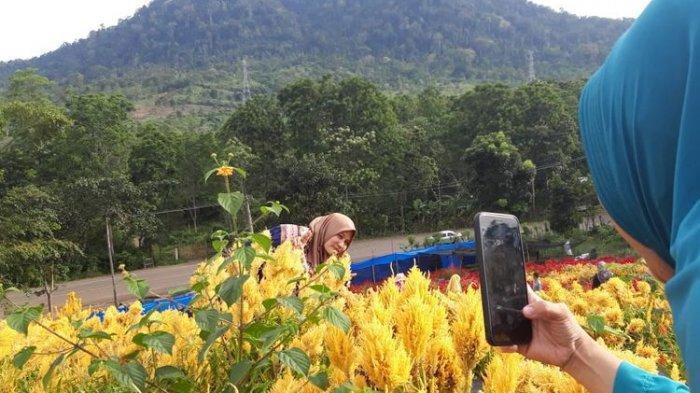 Indahnya Taman Bunga Celosia di Aceh Besar, Cocok Dikunjungi Pemburu Foto Instagramable