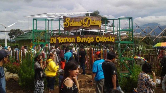 Taman Bunga Celosia di kawasan wisata Gedung Songo, Kecamatan Bandungan, Kabupaten Semarang, Jawa Tengah.
