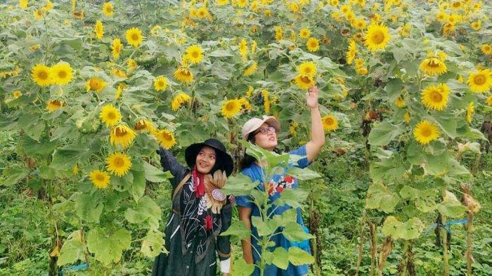 Dari Magelang hingga Malang, Inilah 6 Lokasi Taman Wisata Bunga Matahari