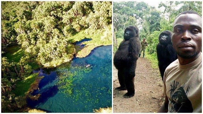 Gorila Sadar Kamera yang Sempat Viral, Ternyata Berasal dari Taman Nasional Ini