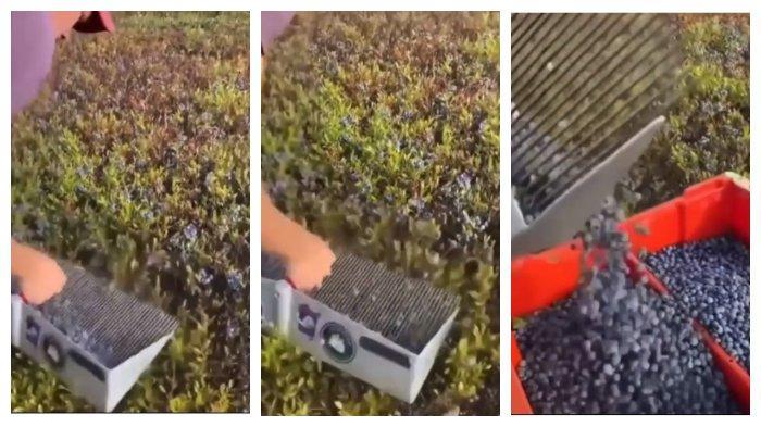 Viral Video Cara Panen Blueberry yang Unik hingga Buat Orang Penasaran