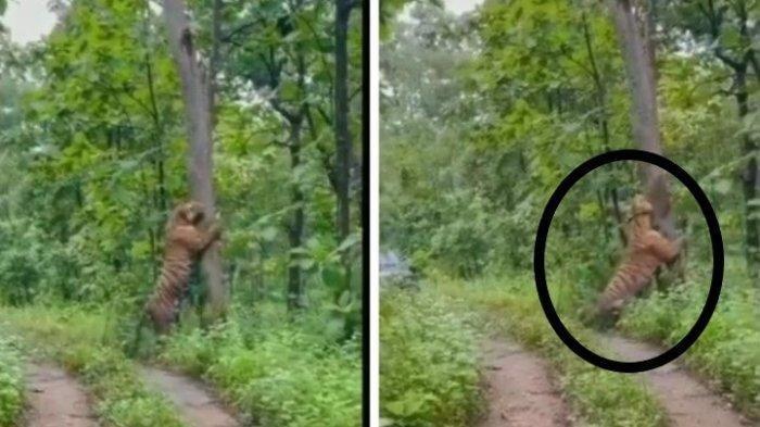 Viral Video Harimau Besar Muncul di Hutan Grobogan, Asli Atau Rekayasa?