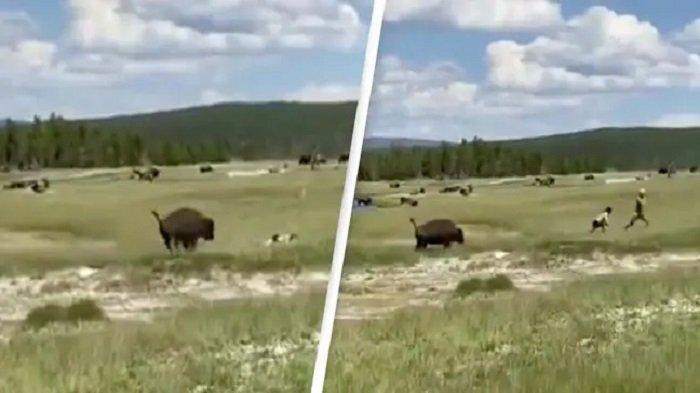 Viral Video Wanita Menghindari Serangan Bison dengan Pura-pura Mati, Apakah Berhasil?
