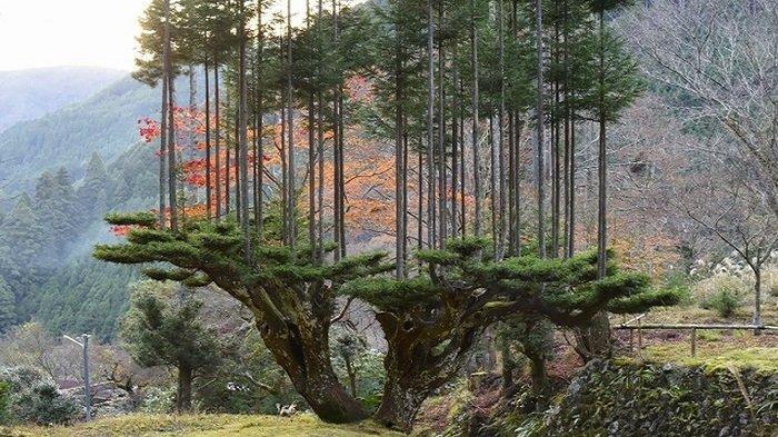 Fakta Unik Daisugi, Teknik Kuno Menanam Pohon di Jepang Tanpa Menggunakan Tanah dan Lahan