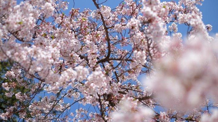 Tak Perlu Pergi ke Jepang, Ini 5 Tempat Melihat Bunga Sakura Terbaik di Indonesia