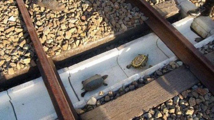 Unik, Terowongan Kecil di Bawah Rel Kereta Api Ini Dibuat Khusus untuk Kura-kura
