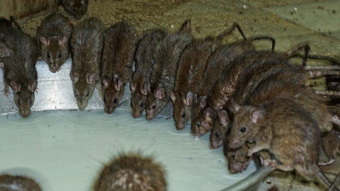 5 Tempat Wisata Unik di India, Ratusan Tikus Siap Menyambutmu di Karni Mata Mandir
