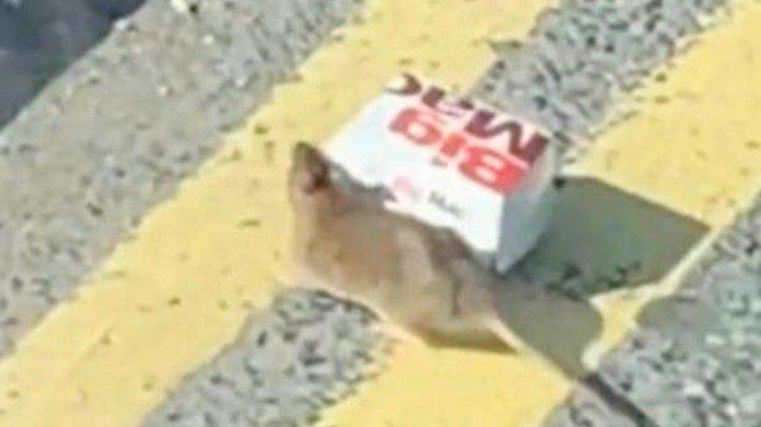 Tikus itu terlihat melintas jalanan