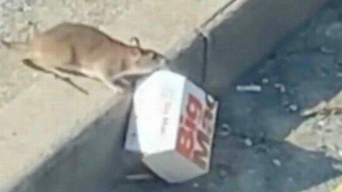 Tikus lapar berhasil melewati trotoar dengan menyeret kotak McDonald's yang kira-kira berukuran sama dengan tubuhnya sendiri