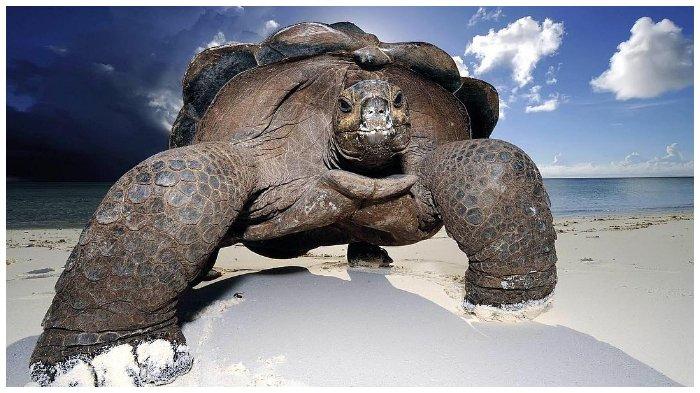 Diyakini Punah Satu Abad Lalu, Kura-kura Raksasa Ditemukan Kembali di Kepulauan Galapagos
