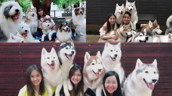 Kafe Unik di Thailand, Pengunjung Bisa Bermain dan Berinteraksi dengan 34 Ekor Anjing Husky