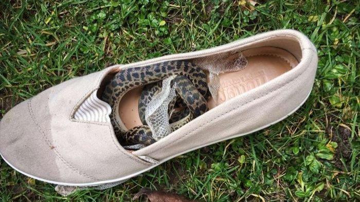 Lakukan Perjalanan dari Australia ke Skotlandia, Wanita Ini Terkejut Temukan Ular di Sepatunya