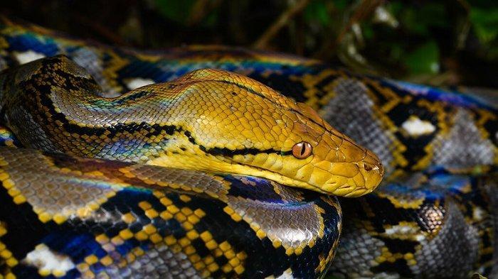 Ilustrasi penemuan ular sanca kembang