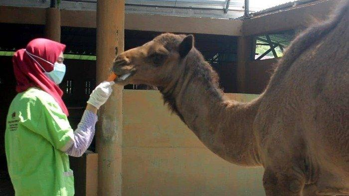 Unta di Jurug Solo Zoo, Jebres, Solo, Jawa Tengah