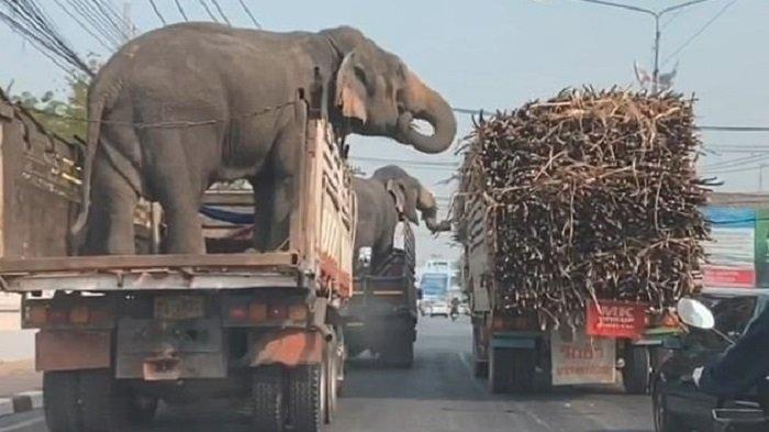 Viral di Medsos Gajah 'Curi' Tebu yang Diangkut Truk saat Berhenti di Lampu Merah