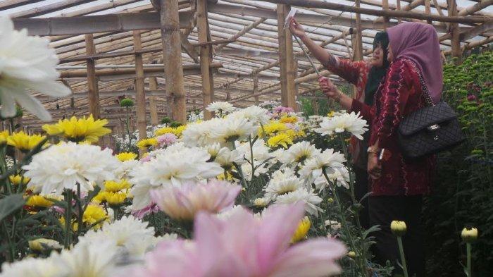 Berwisata ke Kebun Bunga Krisan Bandungan Semarang, Bisa Selfie Sepuasnya