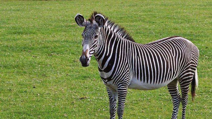 Terungkap Warna Hitam Putih Pada Zebra Ternyata Untuk Hindari