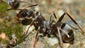 7 Semut Paling Berbahaya di Dunia, Gigitan Bulldog Ant Berikan Rasa Terbakar Pada Kulit