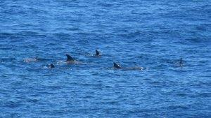 Video Viral, Ribuan Lumba-lumba Terbunuh dalam Tradisi Berburu di Kepulauan Faroe