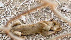Banyak Hewan Mati Kelaparan di Kebun Binatang, yang Masih Hidup Kondisinya Mengenaskan