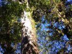alerce-pohon-tertua-di-dunia.jpg