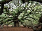 angel-oak-tree.jpg