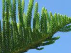 araucaria-columnaris.jpg