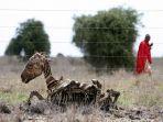 bangkai-zebra-yang-mati-karena-kekeringan_20170618_170644.jpg