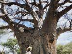 baobab-raksasa-dari-afrika.jpg