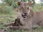 bayi-monyet-yang-dirawat-singa-betina_20170529_210137.jpg