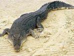 buaya-air-asin-crocodylus-porosus-seekor-buaya-air-asin-jantan.jpg