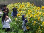 bunga-matahari_20171008_160012.jpg