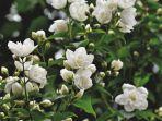 bunga-melati-putih.jpg