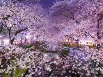 bunga-sakura-mekar-di-tokyo.jpg