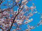 bunga-sakura_20180306_102401.jpg