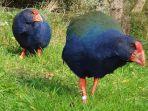 burung-takahe.jpg