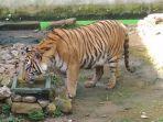 darma-harimau-benggala-dari-semarang-zoo-di-trms-serulingmas-banjarnegara.jpg