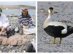 eiderdown-bulu-bebek-laut-termahal-di-dunia-yang-ada-di-pulau-terpencil-islandia.jpg
