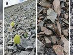 fritillaria-delavayi-gambar-baru.jpg