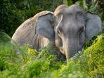 gajah-asia.jpg