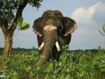 gajah-di-rumah-sakit-wildlife-sos.jpg