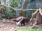 giant-anteater_20170403_162136.jpg