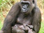 gorila-di-kebun-binatang.jpg