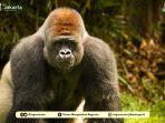 gorila-di-pusat-primata-schmutzer.jpg
