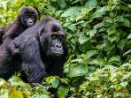 gorila-di-rwanda_20181008_180417.jpg